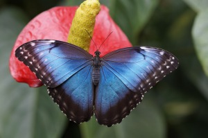 butterfly image, blue