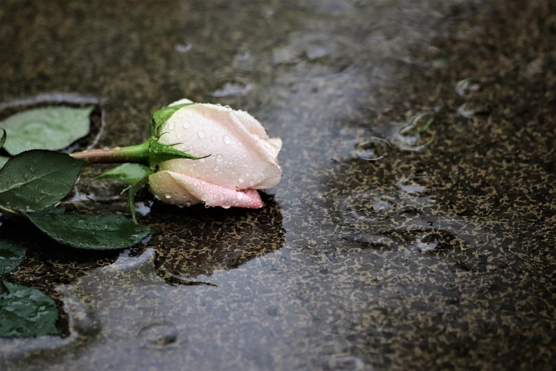 pink-rose-in-rain-4233313_1920